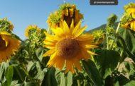 Il girasole, l'heliantus fiore multiplo che si inchina alla luce del sole